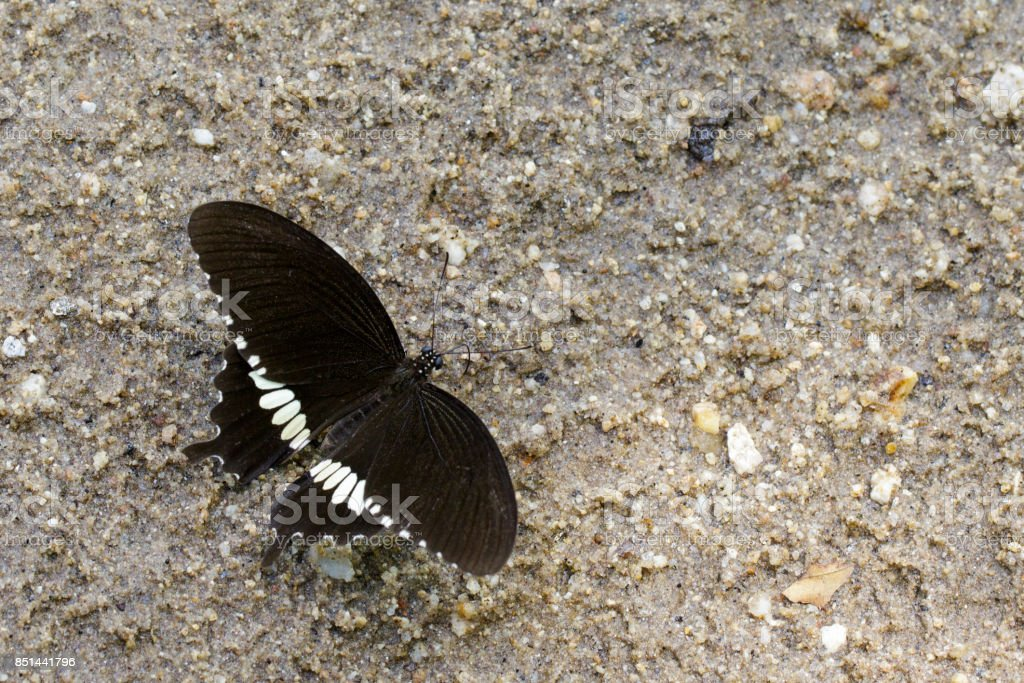 Image of The Common Mormon butterfly (Papilio polytes romulus) on the ground. Insect. Animal stock photo