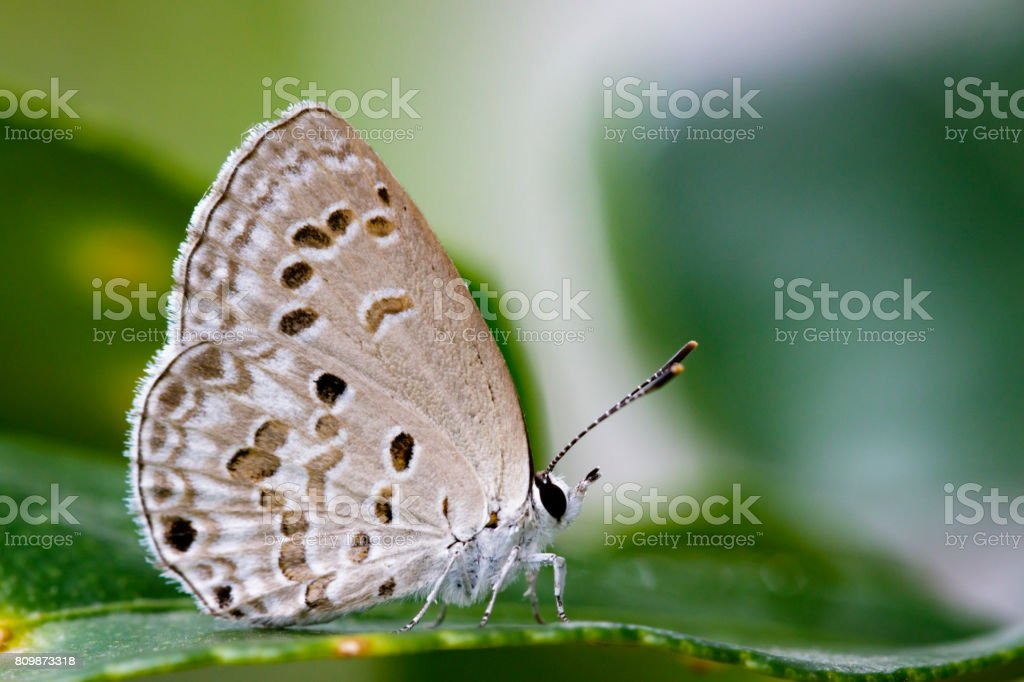 Image of The Lime Blue butterfly on nature background. Insect Animal