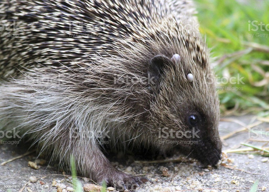 Image of ticks on wild hedgehog, back garden, fleas, parasites royalty-free stock photo