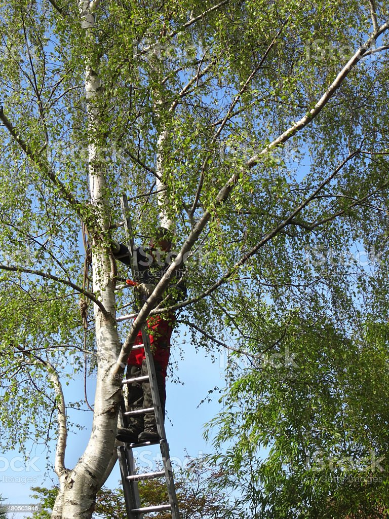 Image of tree surgeon on ladder, pruning silver birch branches stock photo