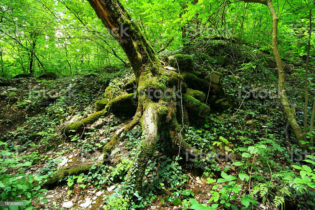 Image of tree's roots in rainforest stock photo