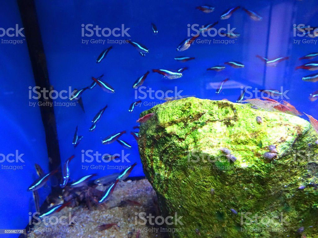Image of tropical fish tank aquarium, Cardinal tetra / Paracheirodon axelrodi stock photo