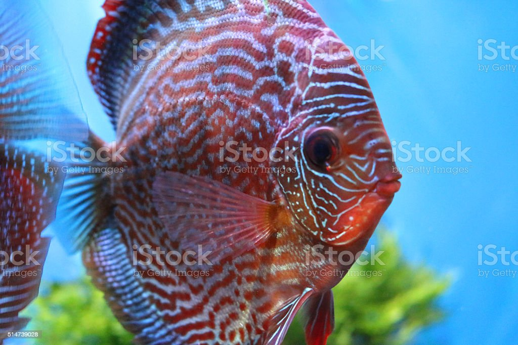 Image of tropical freshwater fish tank / aquarium with discus (symphysodon) stock photo