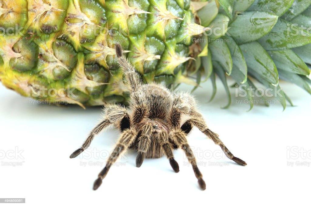 Image of tropical tarantula spider crawling over pineapple fruit royalty-free stock photo