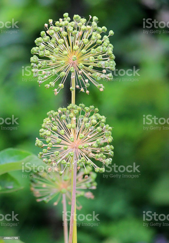 Image of two allium seed head flowers, blurred garden background stock photo