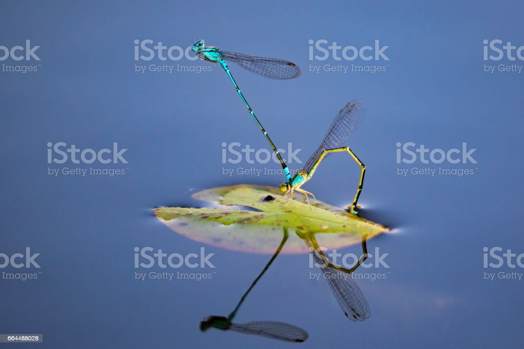 Image of two dragonflies mating on the water. Insect Animals.