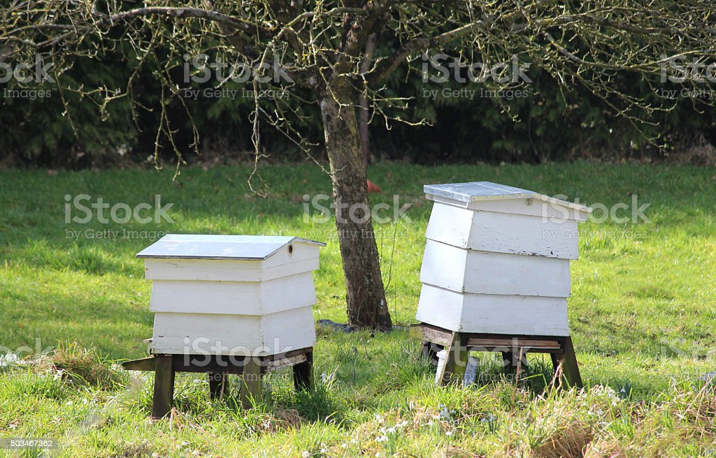Image of two traditional white wooden beehives on garden lawn stock photo