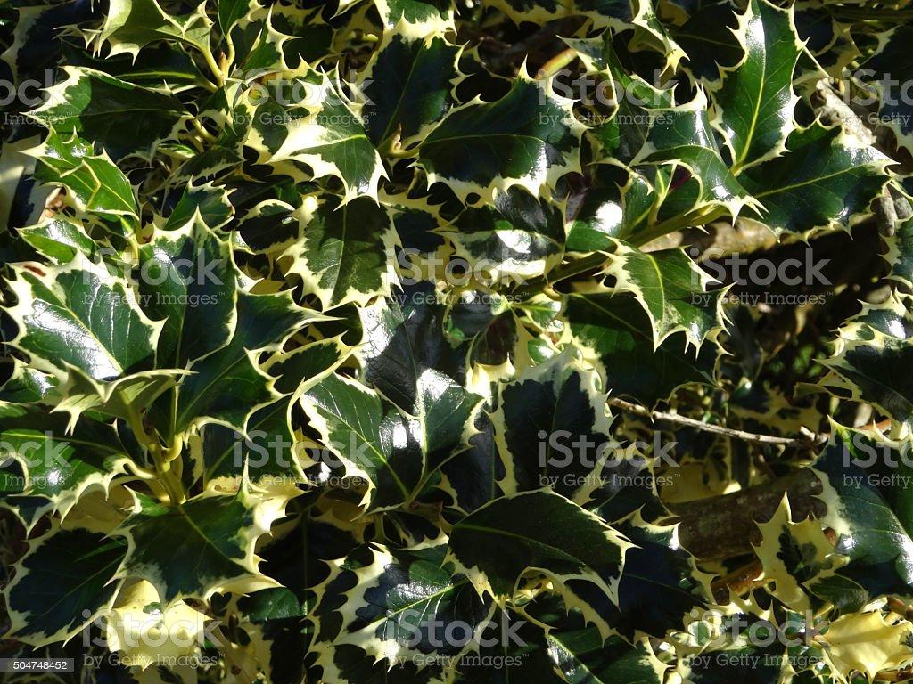 Image of variegated holly leaves, cream and green (Ilex aquifolium) stock photo