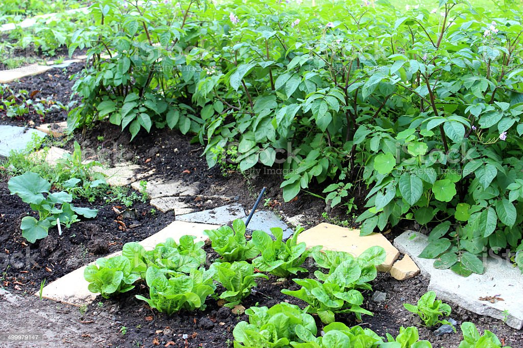 Image of vegetable garden with potato plants, lettuces, courgettes / marrows stock photo