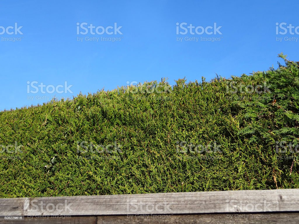 Image of well maintained golden Leyland cypress hedge, blue sky stock photo