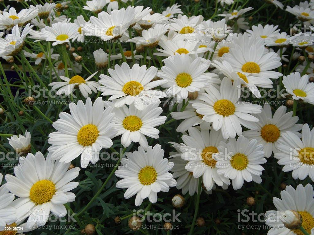Image of white flowering Argyranthemum (Marguerite Daisy), potted plants stock photo