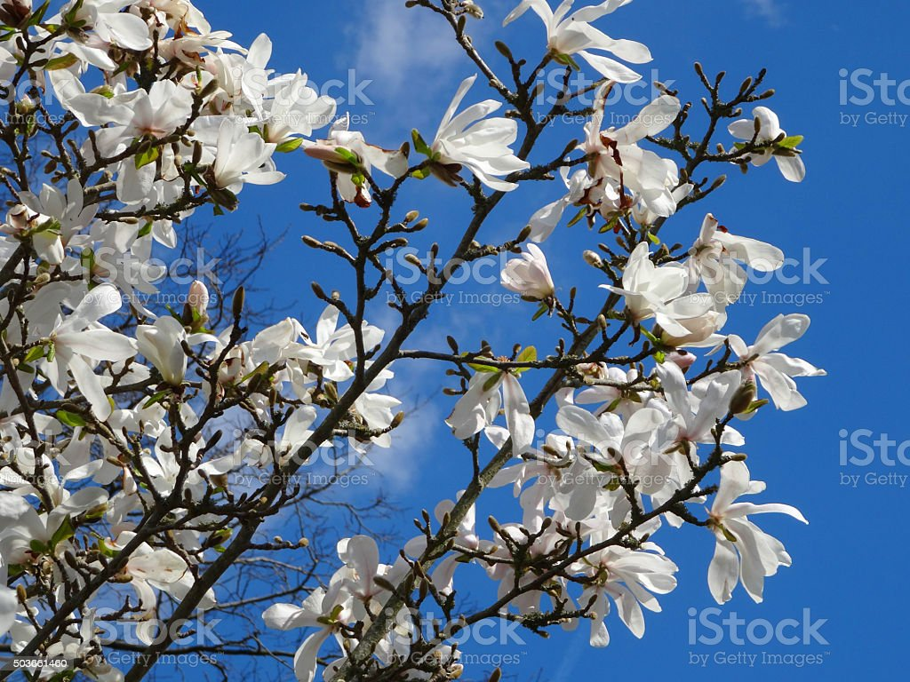 Image of white magnolia stella flowers on branches against blue-sky stock photo