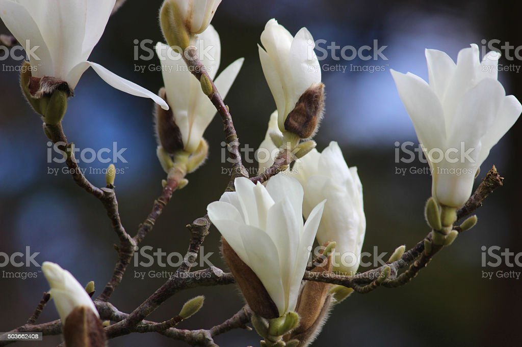 Image of white magnolia tree flowers, blurred spring garden background stock photo