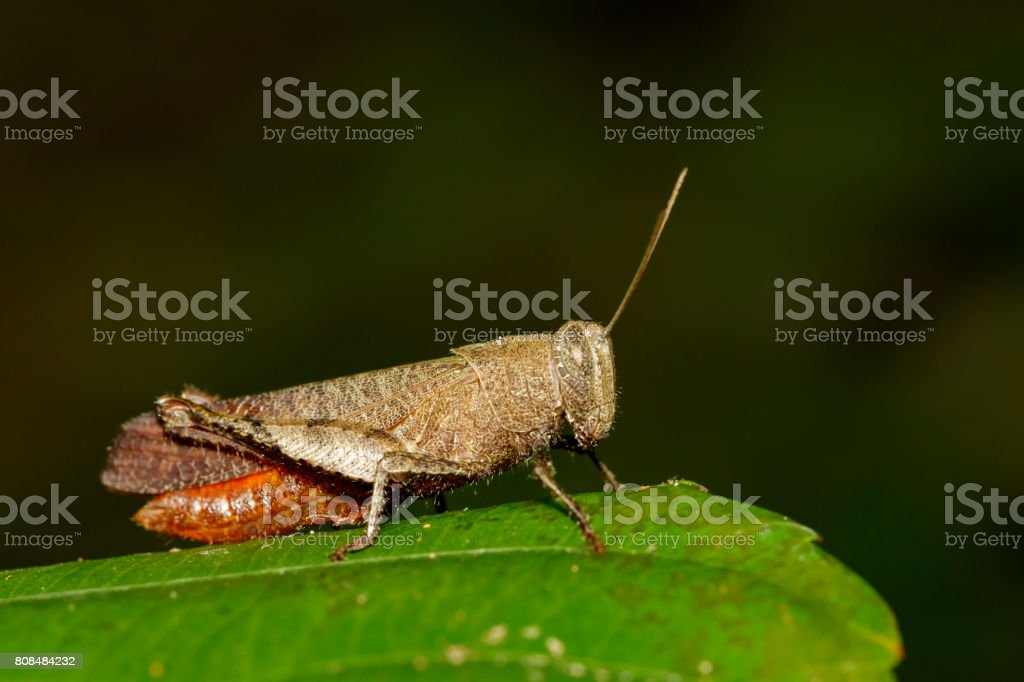 Image of White Shoulder Grasshopper (Apalacris varicornis) on green leaves. Insect Animal stock photo