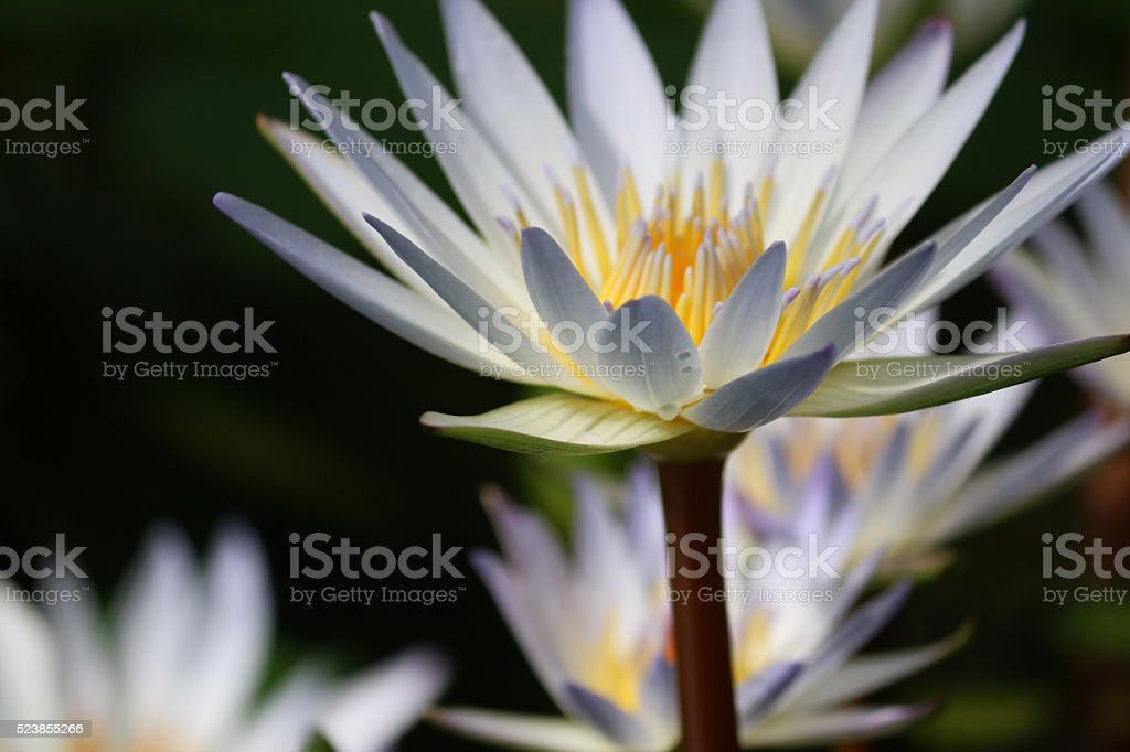 Image of white, star-shaped flowers of tropical-waterlily (nymphaea x daubenyana) stock photo