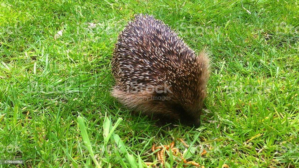 Image of wild hedgehog on lawn in daytime (Erinaceus europaeus) stock photo