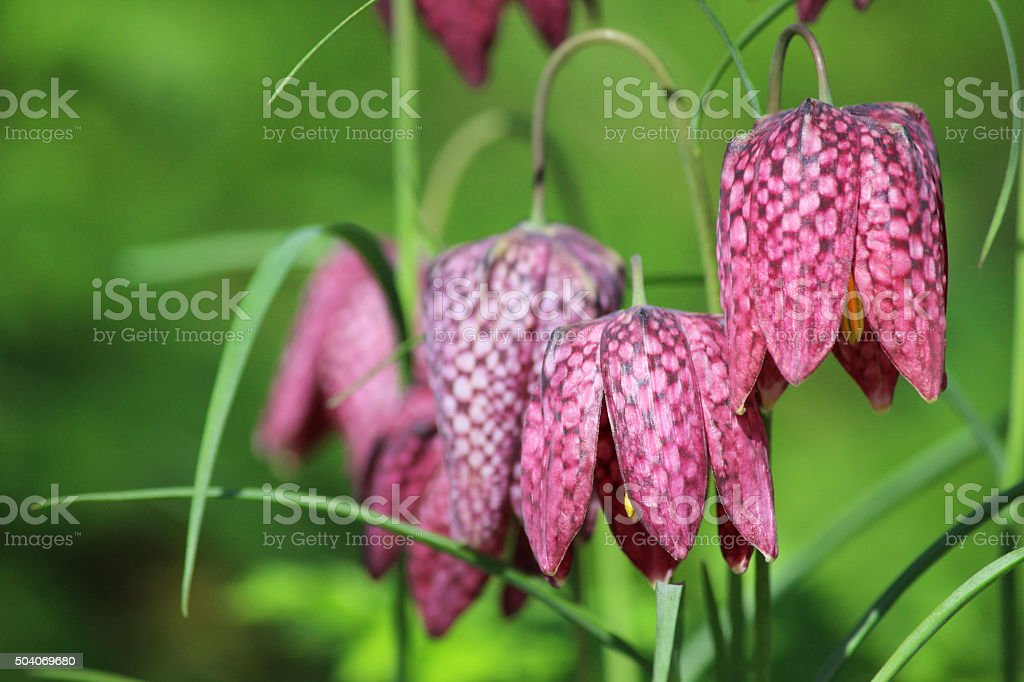 Image of wild purple Fritillaria meleagris clump with checkered petals stock photo