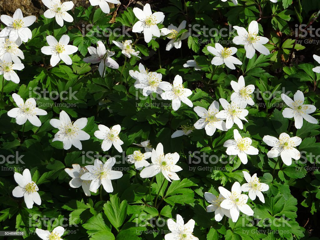 Image of wild white anemone flowers in spring woodland garden stock photo