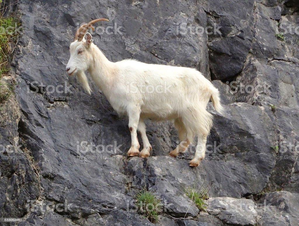 Image of wild, white mountain goat climbing on rocks, cliff-face stock photo
