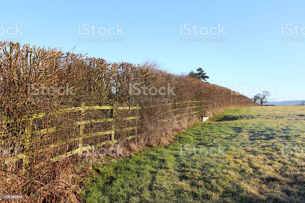 Image of winter deciduous, field maple hedgerow, arable farm field stock photo