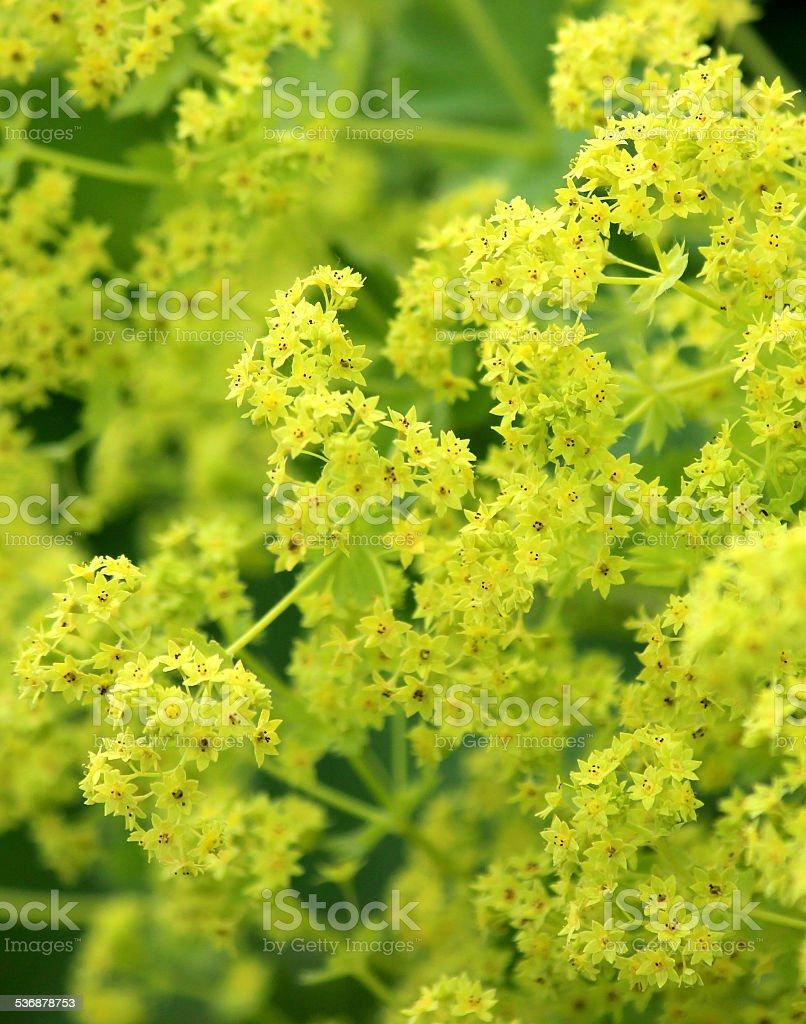 Image of yellow alchemilla mollis flowers / herbaceous Lady's Mantle plant stock photo