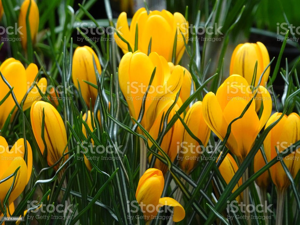 Image of yellow crocus flowers in garden lawn, spring bulb stock photo