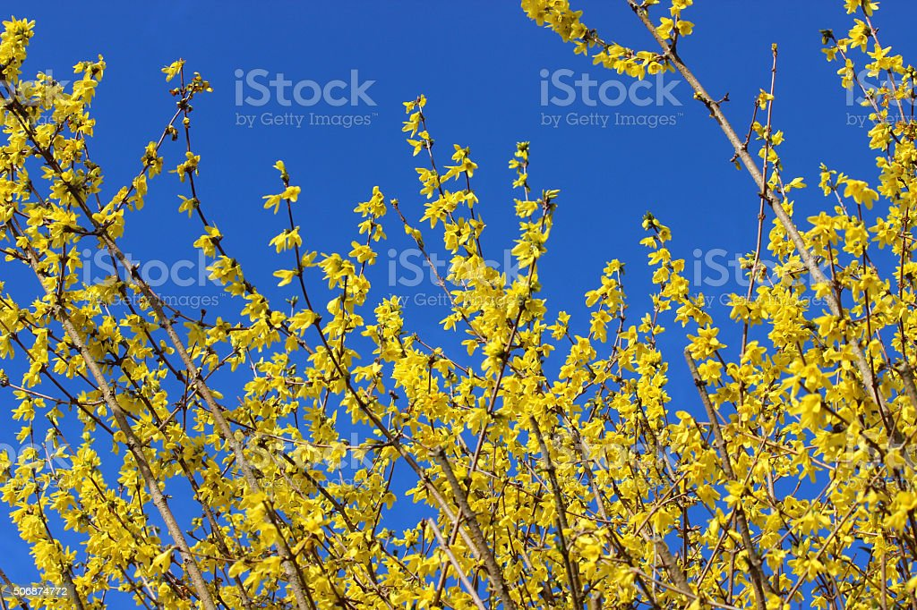 Image of yellow flowers on forsythia bush, isolated blue sky stock photo