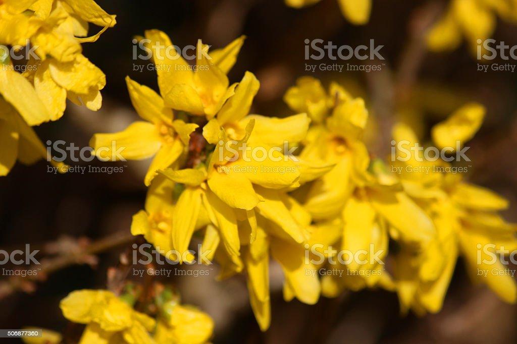 Image of yellow forsythia flowers close-up, blurred background, garden shrub stock photo