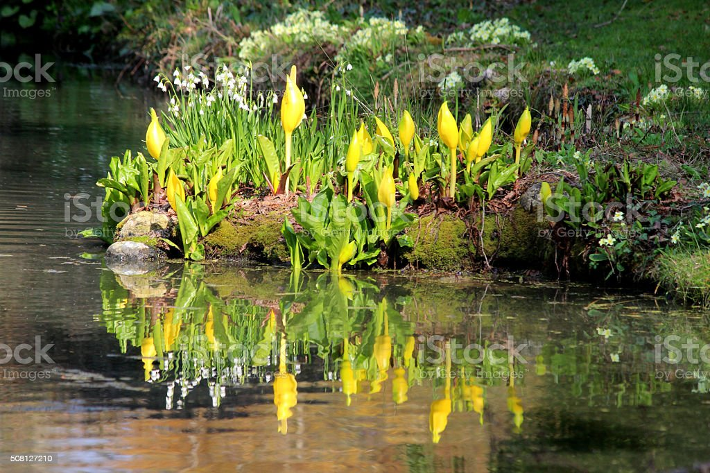 Image of yellow skunk cabbage flowers reflecting in pond water stock photo