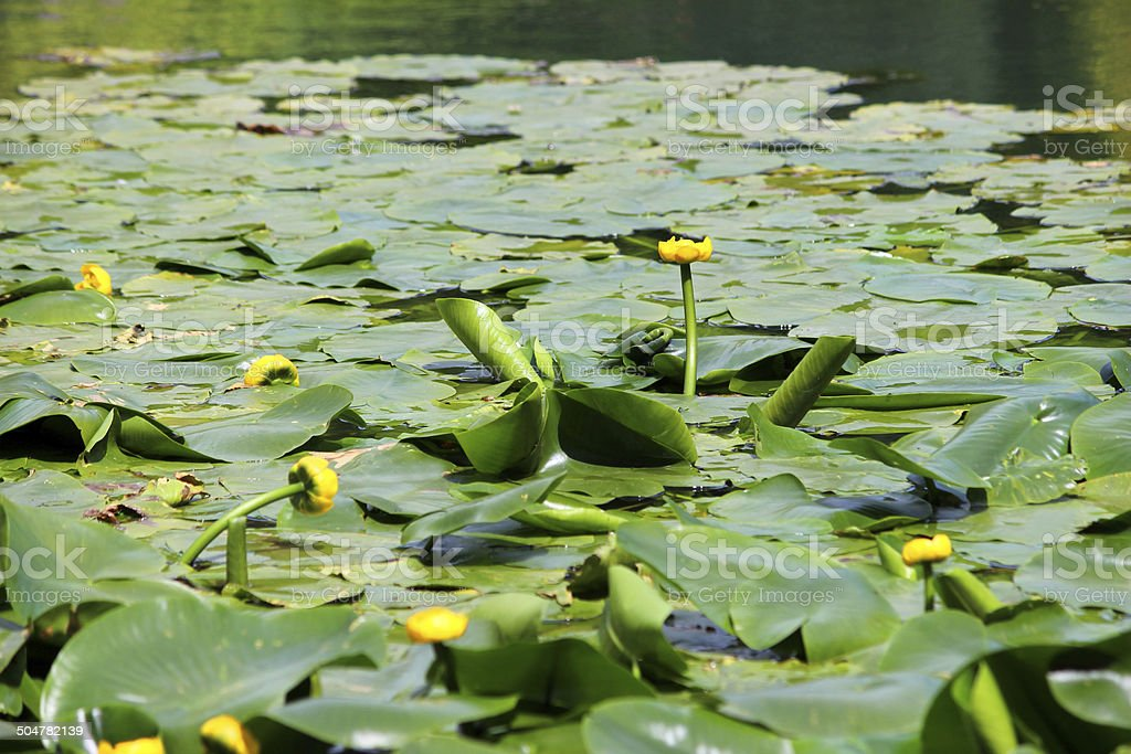 Image of yellow water lily flowers / spatterdock / cow lily (Nuphar-lutea) stock photo