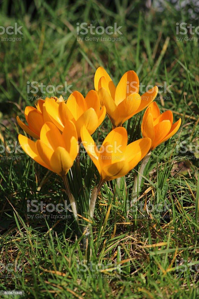 Image of yellow/orange crocus clump flowering  in garden lawn stock photo