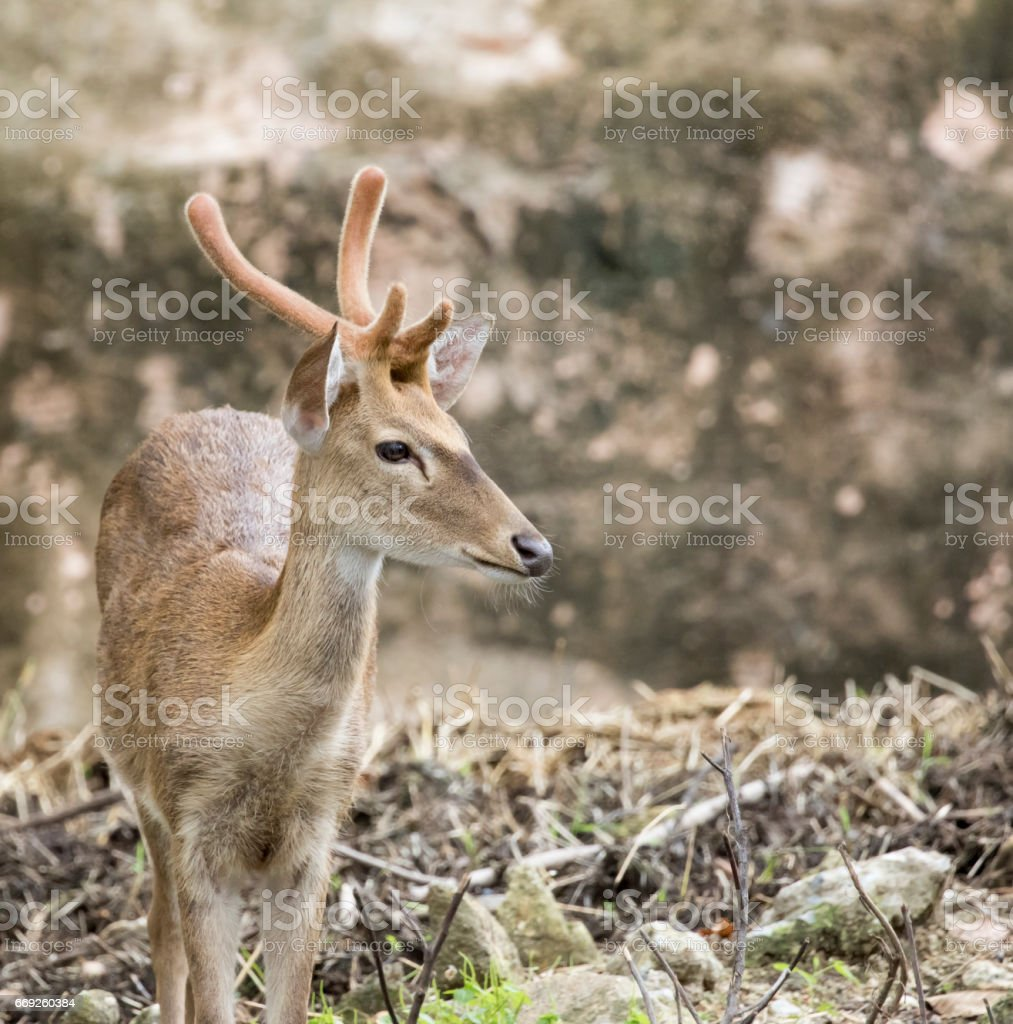 Image of young sambar deer on nature background. stock photo