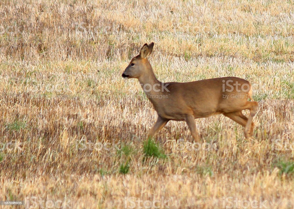 Image of young wild European roe deer in field (fawns) stock photo