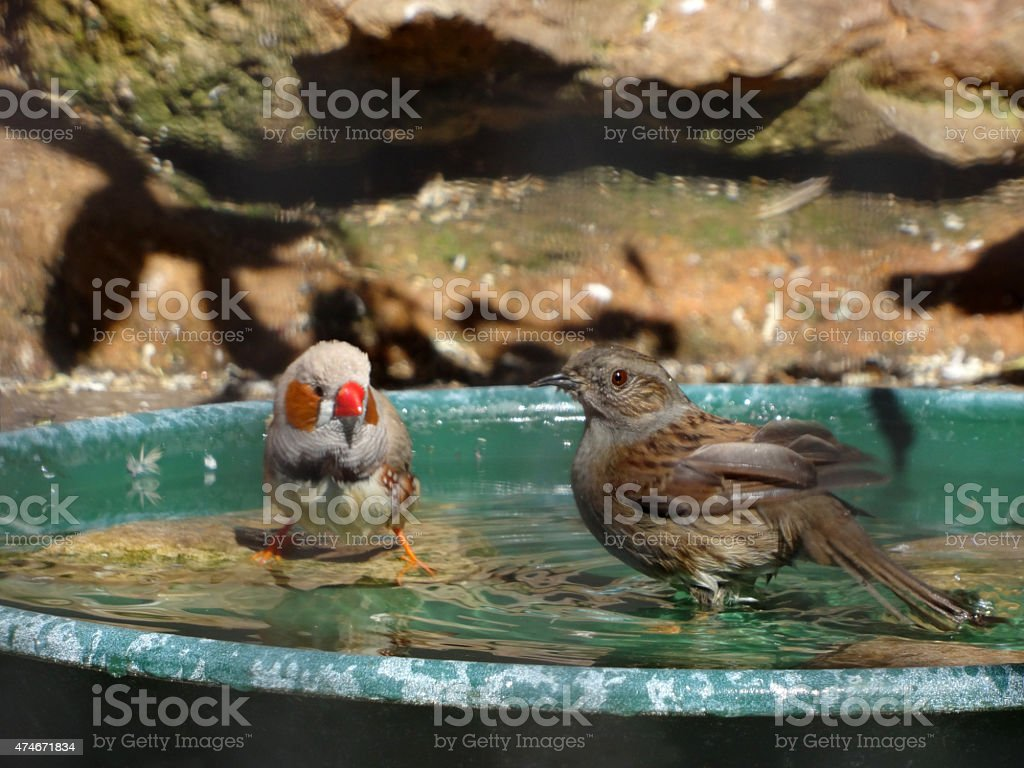 Image of zebra finch bathing with hedge sparrow in aviary stock photo