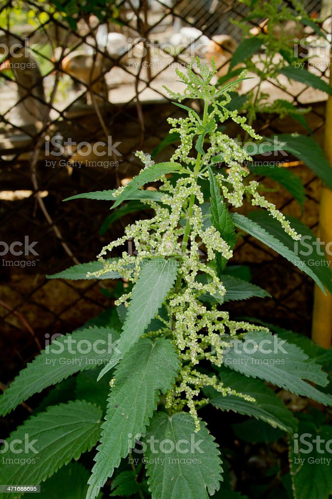 Image sprout young nettles in the garden royalty-free stock photo