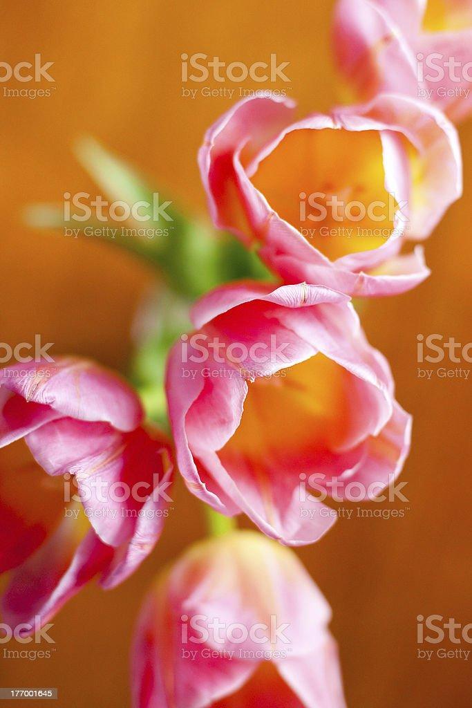 Imagen con rosa tulipanes foto de stock libre de derechos