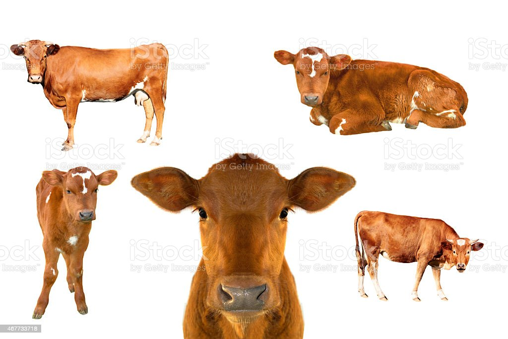 Images of cow calf in different positions and angles stock photo