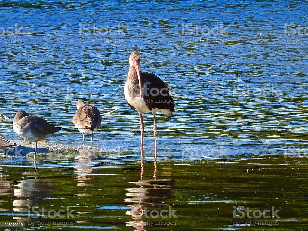 Imature Ibis.. stock photo