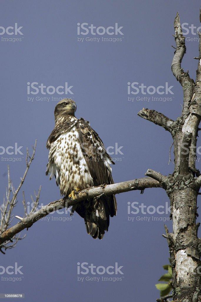 Immature Bald Eagle royalty-free stock photo