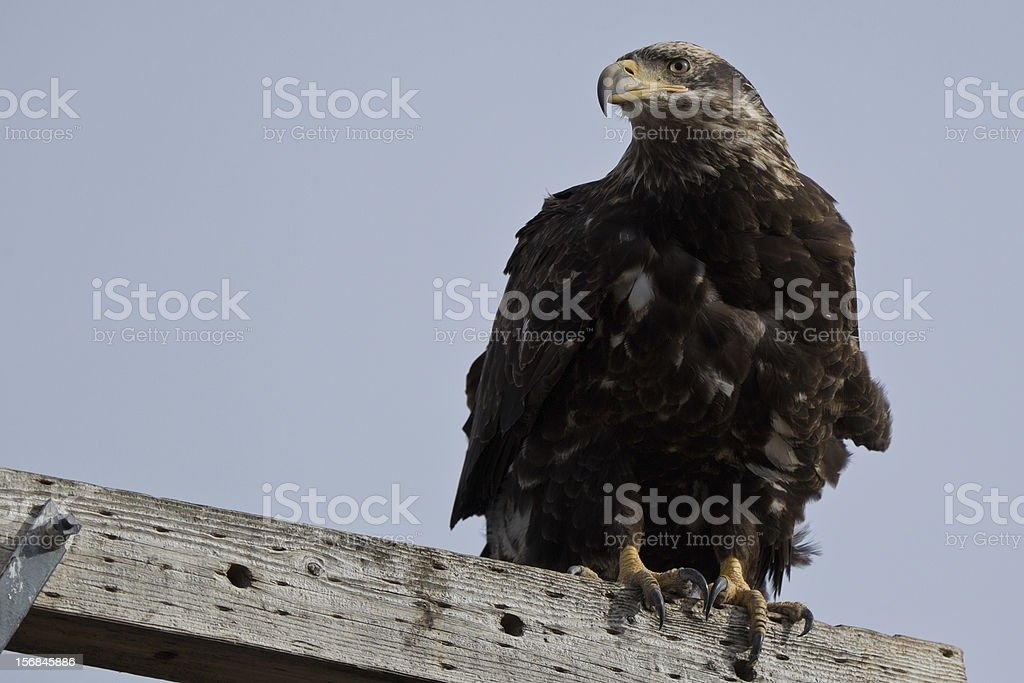 Immature Bald Eagle (Haliaeetus leucocephalus). stock photo
