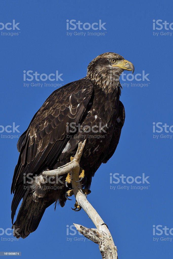 Immature Bald Eagle stock photo