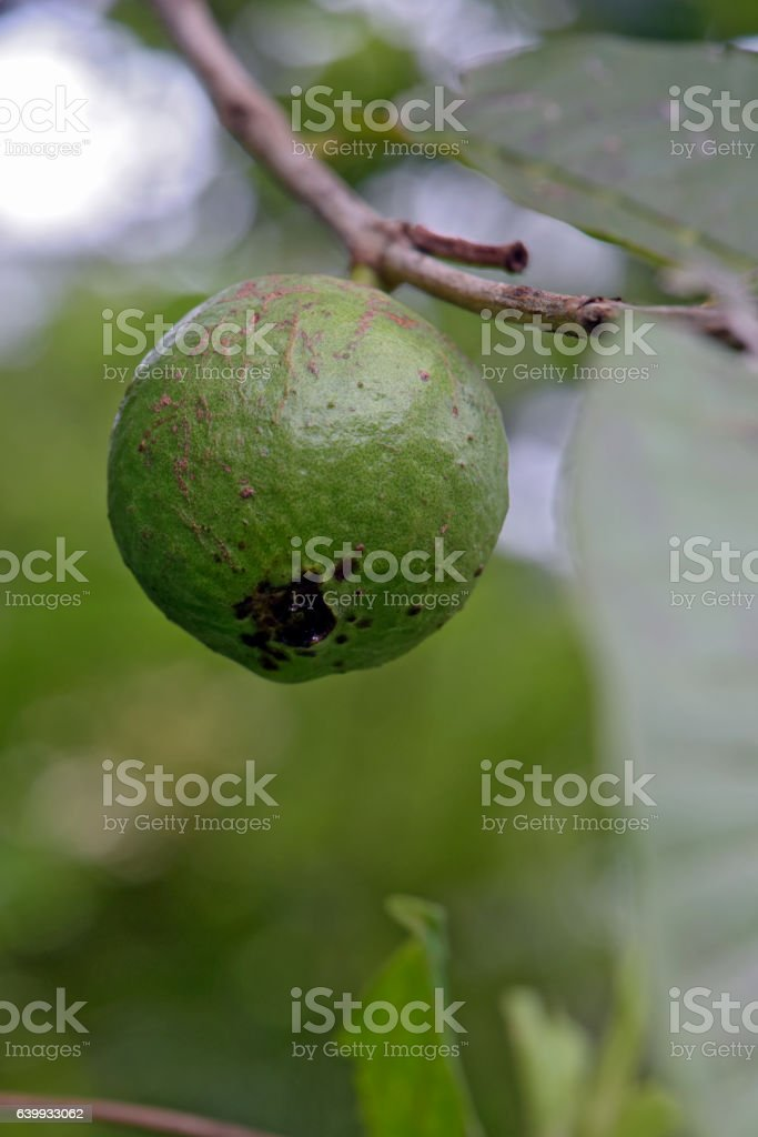 Immature Cattley guava, in the tree stock photo