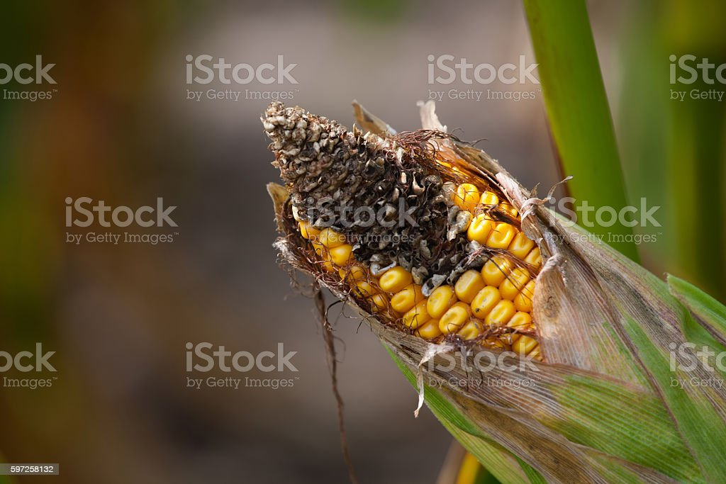 Immature, diseased and moldy corn cob on the field. stock photo