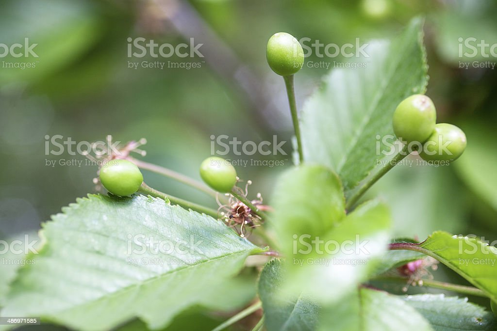 Immature green fruit cherries on a branch stock photo