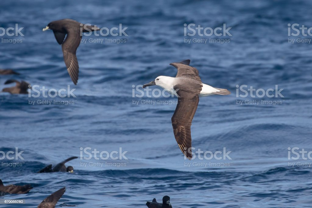 Immature Indian Yellow nosed Albatross stock photo