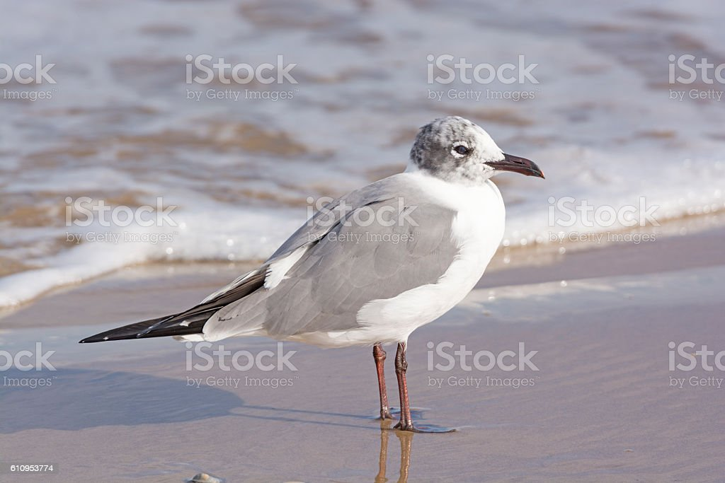 Immature Laughing Gull on the Shore stock photo