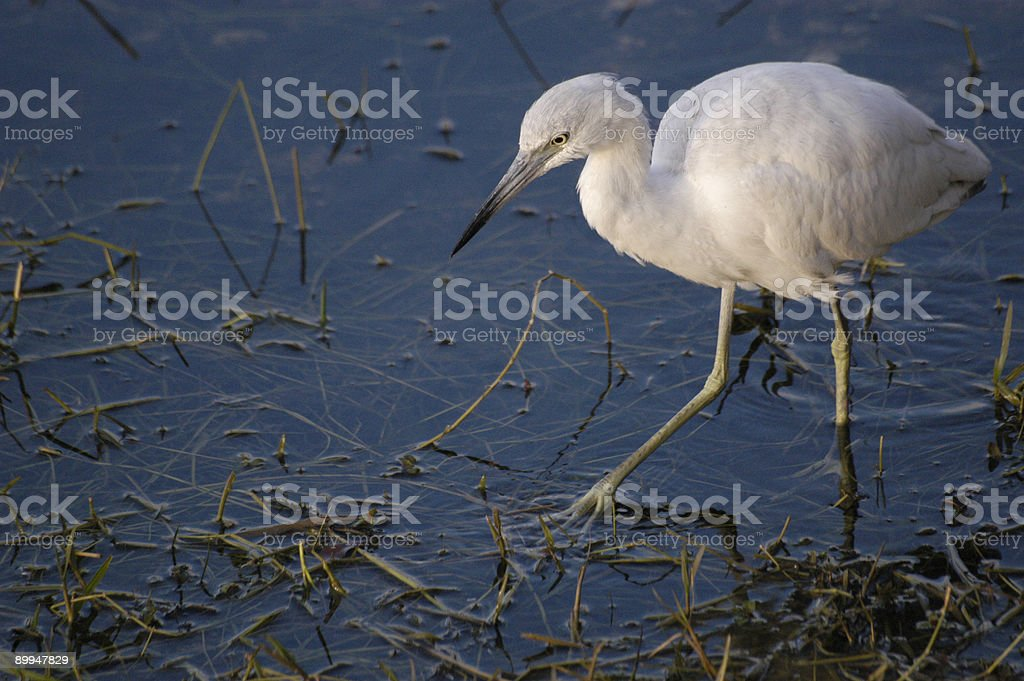 Immature little blue heron stock photo