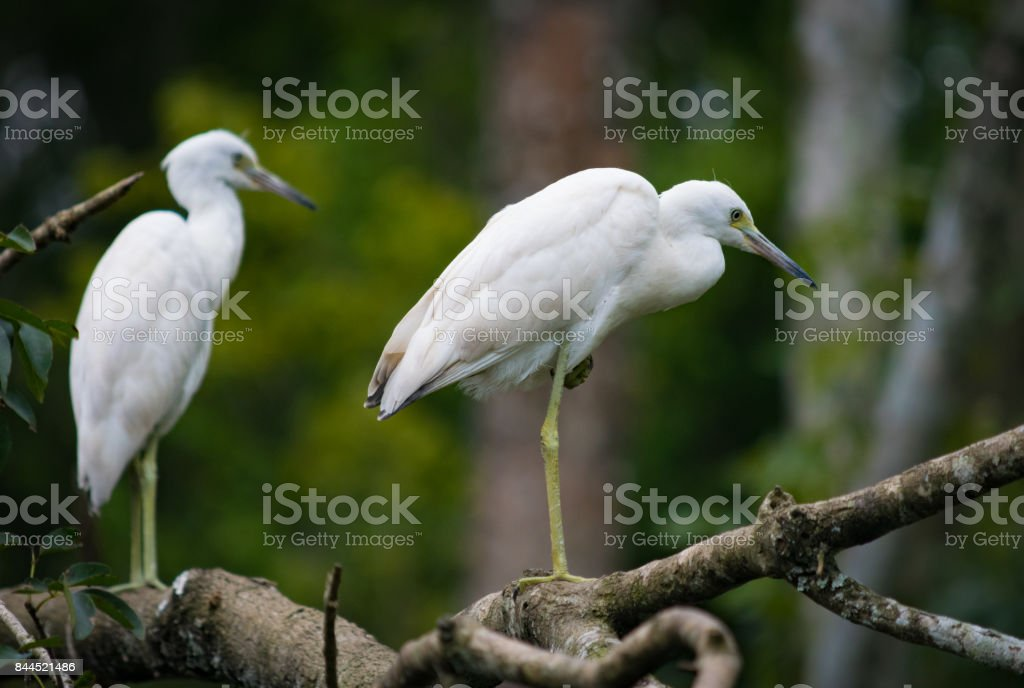 Immature Little Blue Herons on a Tree stock photo