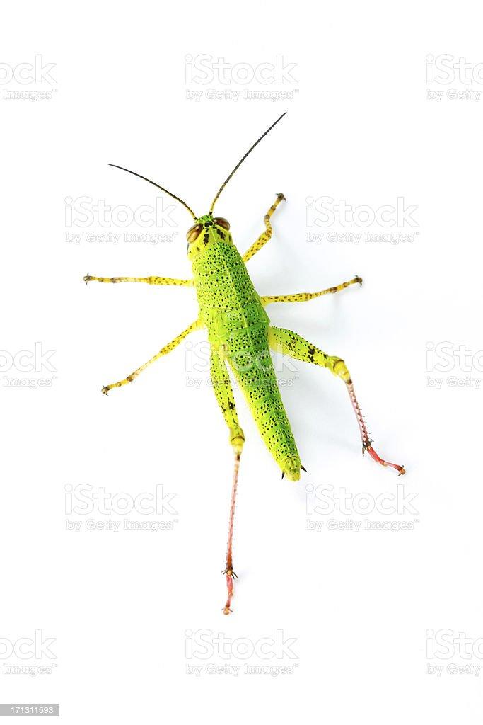 immature locust top view stock photo