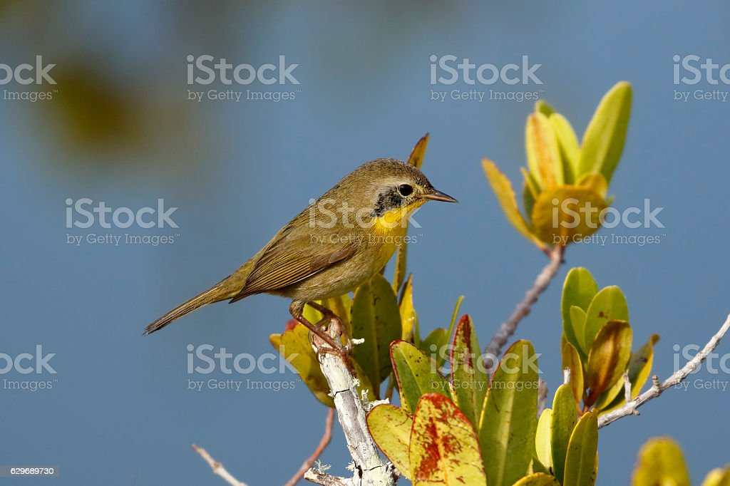Immature Male Common Yellowthroat - Merritt Island, Florida stock photo